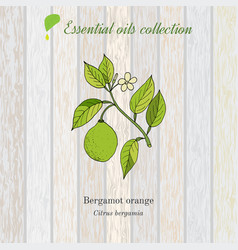 Pure essential oil collection bergamot wooden vector