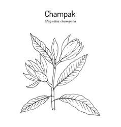 Champak or yellow jade orchid tree magnolia vector