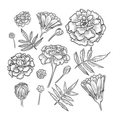 Hand drawn elegant marigold vector