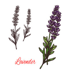Lavender seasoning sketch plant icon vector