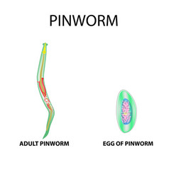 pinworms structure of an adult pinworm egg set vector image