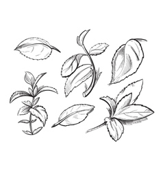 Mint medicine herb peppermint leaves hand drawn vector