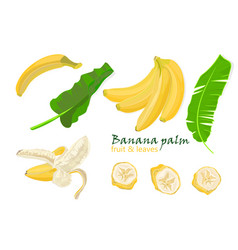 Set tropical palm banana leaves and single peeled vector