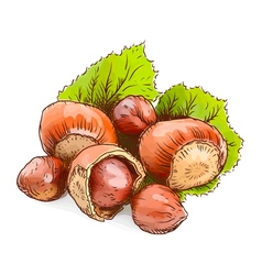 Hazelnut - a filbert Watercolor imitation vector image vector image