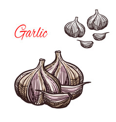 Garlic seasoning sketch plant icon vector