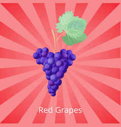 ripe red grapes in big cluster for wine production vector image