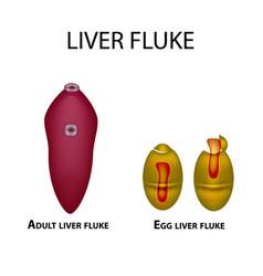 Liver fluke hepatic fluke the egg trematode vector