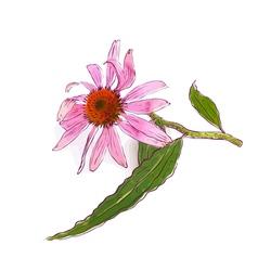 Echinacea purpurea eastern purple coneflower or pu vector image vector image