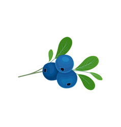 Blueberries berries on a stalk vector