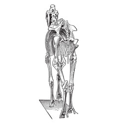 Horse skeleton vintage vector