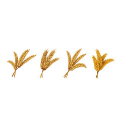 Realistic wheat ears and grains organic rye vector
