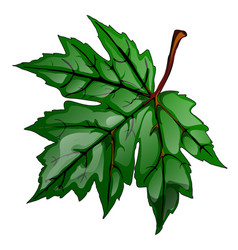 The single green maple leaf isolated on a white vector