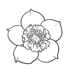 hellebore christmas rose single flower top view vector image