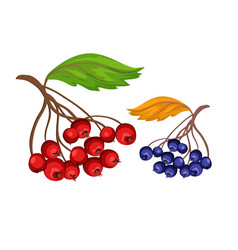 Sketch rowanberry and blue berry vector