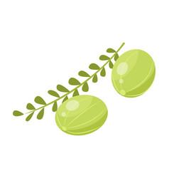 Branch green small indian gooseberries amla vector