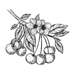 cherry branch engraving vector image