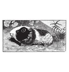Guinea pig vintage vector