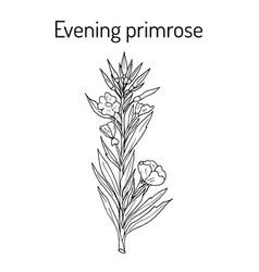 evening primrose oenothera biennis or suncups vector image