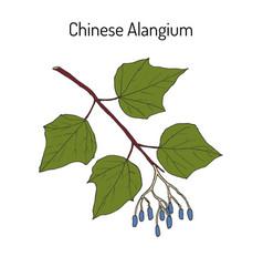 Alangium chinense medicinal plant vector