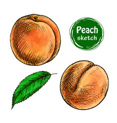 peach sketch vector image