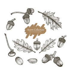 acorn collection set hand drawing vintage s vector image