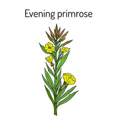 Evening primrose oenothera biennis or suncups vector