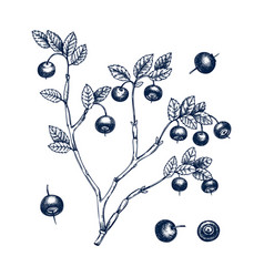 hand drawn bilberries in engraved style wil vector image