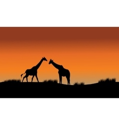 Silhouette of two giraffe in fields vector image