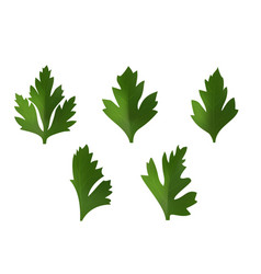 set of leaves of coriander or parsley vector image