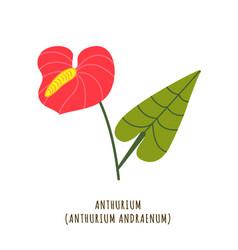 anthurium tropical flower vector image