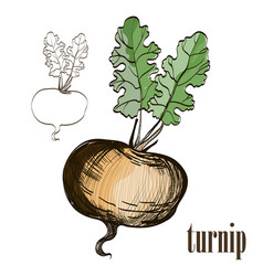 Painted turnip on white background vector
