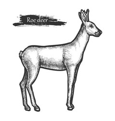 roe deer sketch wild animal line hatching vector image