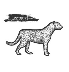 leopard sketch zoo and african jungle wild animal vector image