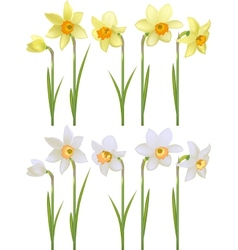 Set with white and yellow realistic daffodils vector image