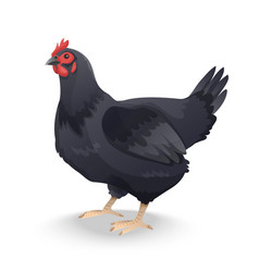 black farm hen isolated on white background vector image vector image