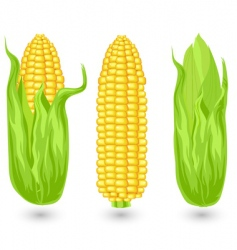 Ears of ripe corn vector