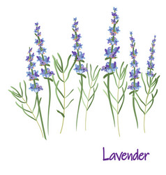 Lavender flowers drawing medicinal plant vector