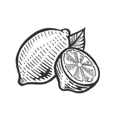 Lemon citrus sketch engraving vector