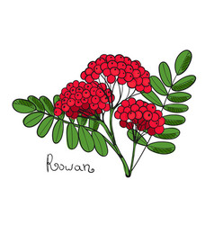 Red rowan tree isolated twig of rowanberry or vector