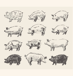 Drawn pigs mangalica pork restaurant menu vector