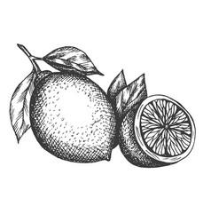 Hand drawn lemon in vintage vector