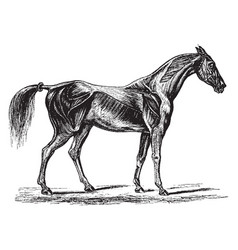 Horse muscles vintage vector