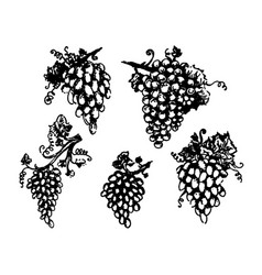 grapes wine and vine hand drown vector image