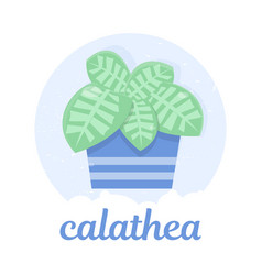 calathea in a blue flower pot exotics vector image