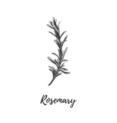 Rosemary herbs and spices vector