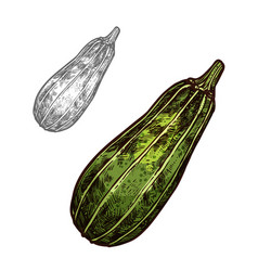 Zucchini vegetable sketch with green courgette vector
