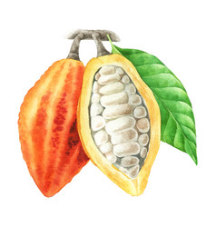watercolor cocoa pods with leaves vector image