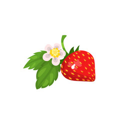 strawberry with leaves and blossom vector image