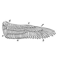 Right wing of kestrel vintage vector