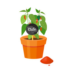 Chile plant in pot and powder vector